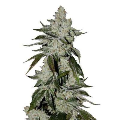 PLATINUM COOKIES – FEMINIZED INDICA Profile Picture